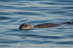 Harbor Seal Royalty Free Stock Images