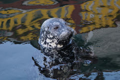 Harbor seal stock image