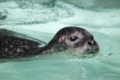 Free Harbor Seal Stock Images - 14502904