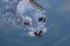 Harbor seal royalty free stock photos
