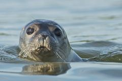 Harbor Seal. Swimming in Maine royalty free stock photo