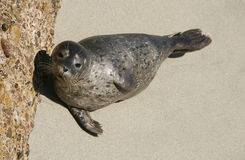 Harbor Seal 3 Stock Photo