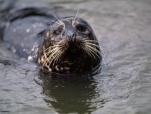 Harbor Seal. Up close in water royalty free stock photography
