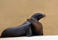 Free Harbor Seal Stock Photo - 33890140