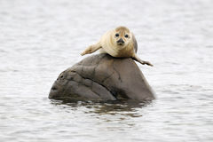 Harbor Seal. Lying on a rock royalty free stock photography