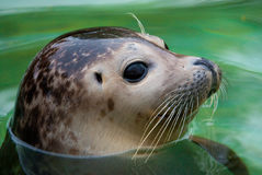 Harbor seal Royalty Free Stock Photos