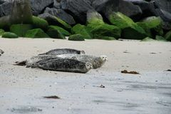 Harbor Seal Stock Photography