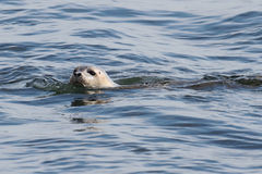 Harbor Seal In The Atlantic Ocean Stock Photos