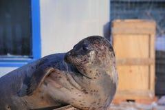 Harbor Seal Basking on Snowfield Stock Photo