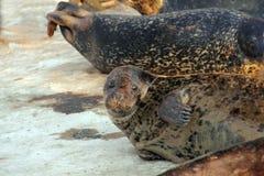 Harbor Seal Basking on Snowfield Stock Image
