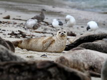 Harbor Seal on Beach with Birds Royalty Free Stock Photography