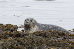 Harbor seal that climbs on the rocks at low tide in spring Stock Photo