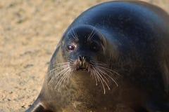 Harbor seal close Stock Photo
