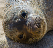 Harbor Seal Closeup Stock Photo