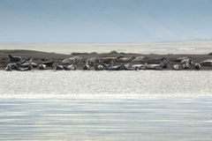 A Harbor Seal colony in Iceland Stock Photo