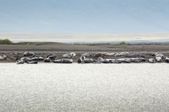 Harbor Seal colony in Iceland Stock Images