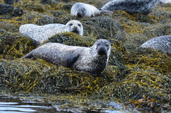 Harbor Seal Colony at Loch Dunvegan Royalty Free Stock Photo