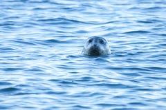 Harbor Seal. A curious harbor seal checks out the photographer on the beach Stock Photos