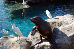 Harbor seal and egrets at Seaworld pool. Harbor seal and egrets on a rock at Seaworld pool, Orlando stock image
