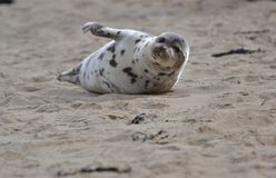 Harbor seal entertaining the crowd at the beach stock photo
