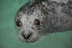 Harbor Seal Eyes Stock Images
