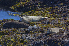 Harbor Seal Family Relaxing. Portrait of a Harbor Seal family relaxing on rocks, taken along California Highway 1, near Point Arena Royalty Free Stock Photos