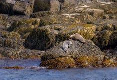 Harbor seal family on a rocky coast in maine stock photo