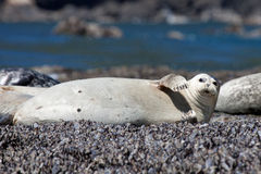 Harbor Seal. This female harbor seal is very close to giving birth Stock Images