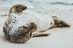 Harbor Seal funny animal sleeping on sandy beach. Phoca vitulina ecology protection concept scandinavian sealife in Denmark Royalty Free Stock Image