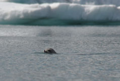 Harbor Seal In Glacier Bay Stock Image