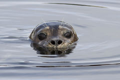 Harbor seal head that looks out of the Stock Photography