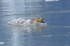 Harbor Seal on the Ice Royalty Free Stock Photos