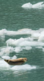 Harbor Seal on Iceflow. A harbor seal balances itself on an chunck of ice Stock Photos