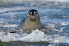Harbor Seal In The Surf Stock Images