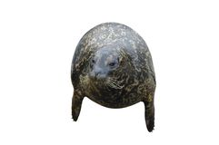 Harbor Seal Isolated on White Royalty Free Stock Photography