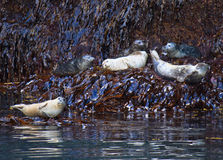 Harbor seal, Kenai Fjords National Park, Alaska Stock Photo