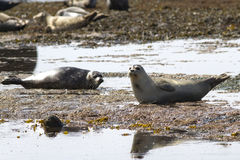 Harbor seal lying on the beach at low Stock Photos