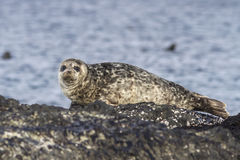 Harbor seal lying on a rock island Bering Royalty Free Stock Image