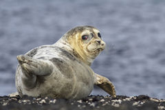 Harbor seal lying on a rock island Bering Stock Photos