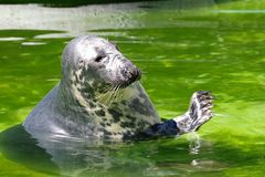 Harbor Seal, Mammal, Fauna, Water stock image