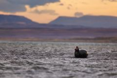 Harbor Seal near a beach in Iceland stock photo
