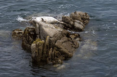 Harbor Seal near Lovers Beach Monterrey Stock Photos