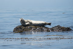 Harbor Seal off California coast Royalty Free Stock Image