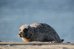 Harbor Seal (Phoca vitulina) Royalty Free Stock Photos