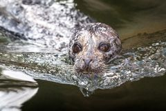 The harbor seal Phoca vitulina. royalty free stock images