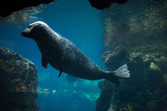 Harbor seal (Phoca vitulina). Stock Image