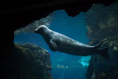 Harbor seal (Phoca vitulina). Stock Photo