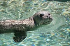 Harbor seal (Phoca vitulina) Royalty Free Stock Photography