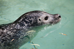 Harbor seal (Phoca vitulina). Also known as the common seal. Wildlife animal Royalty Free Stock Images