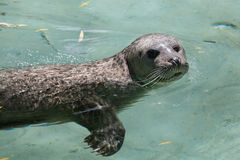 Harbor seal (Phoca vitulina). Also known as the common seal. Wildlife animal Royalty Free Stock Photo